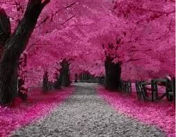 roze boom